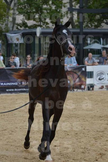concours National de chevaux Arabes à Nîmes - les 12 & 13 septembre 2015 - 2