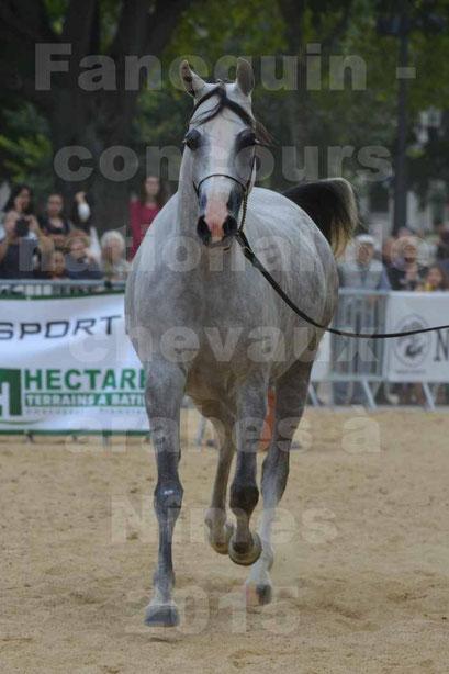 concours National de chevaux Arabes à Nîmes - les 12 & 13 septembre 2015 - 3