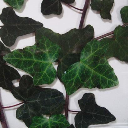 Ivy Leaf FG