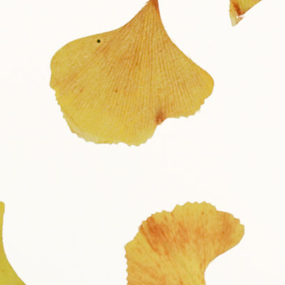Lumicor - Natural - Lumicor - Natural - Ginkgo