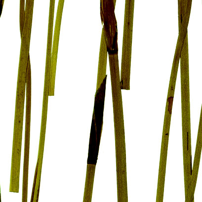 Lumicor - Natural - Pampas Reed Light