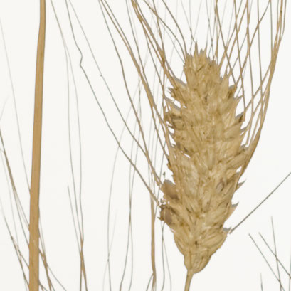 Lumicor - Natural - Wheat