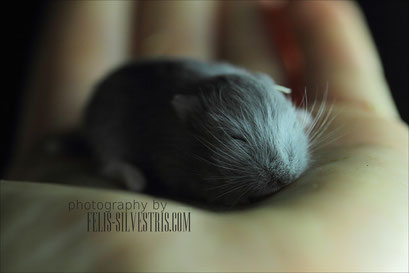 Baby Hamster Blue