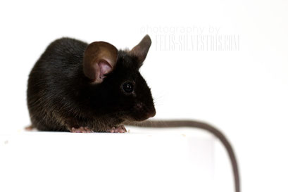 Extreme Black fancy mice
