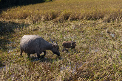 Wasserbüffel mit Jungem