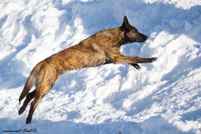 enrainement chien d'avalanche