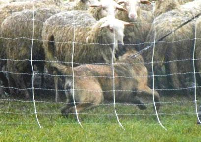 premier contact avec les moutons..