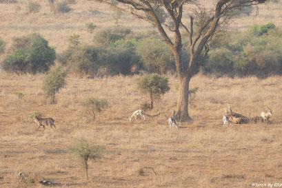 Ellipsenwasserbock, Grant-Gazelle