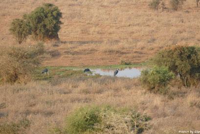 Marabu (Afrikanischer Marabu), Waffenkiebitz