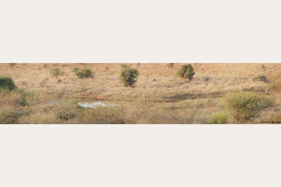 Gurrtaube (Kapturteltaube, Kaplachtaube), Marabu Afrikanischer Marabu)