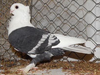 0,1 AOC-schwarz mit weißem Schwanz, sg93, J.Schedler