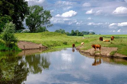 Rinder auf der Elbinsel Krautsand