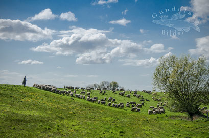 Schäfer mit seiner Herde am Ruthenstrom
