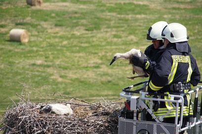 Besuch am Storchennest: Mitarbeiter der Freiwilligen Feuerwehr nehmen einen Jungvogel aus dem Nest