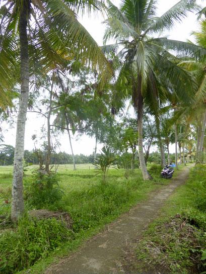 Bild: Reisfelder von Ubud
