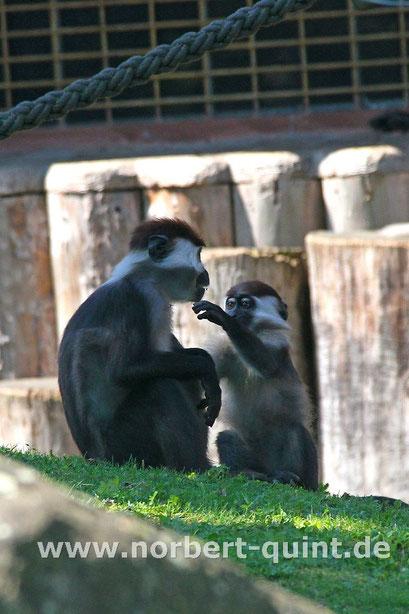 Zoo Münster - Rotscheitelmangaben