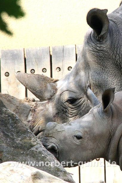 Zoo  Münster- Breitmaulnashorn