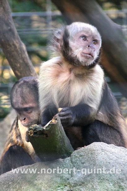 Zoo Münster - Gelbbrustkapuzineraffe