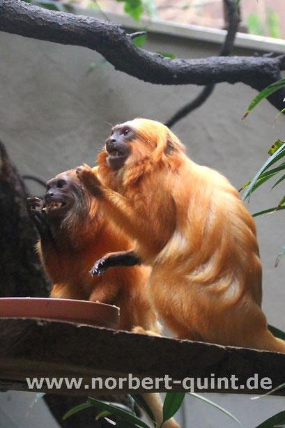 Zoo Münster - Goldenes Löwenäffchen