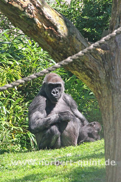 Zoo Münster - Flachlandgorilla