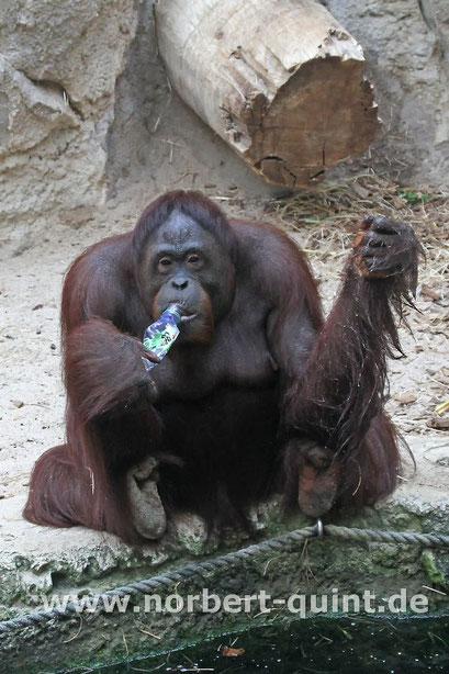 Zoo Münster - Orang-Utan