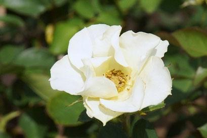 ジョスリン  尊敬・純潔を意味する花名