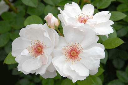ジャクリーヌ・ドゥ・プレ  白い花弁に赤いシベが美しい