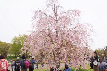 渓流広場の枝垂れ桜