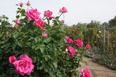 花菜ガーデン薔薇の轍