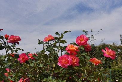 薔薇の轍  甘い香りに酔いながら・・・