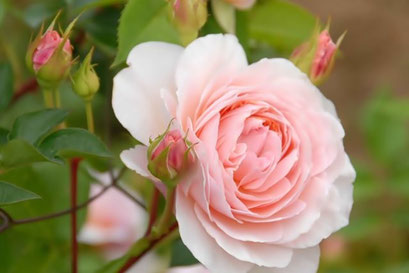 ウイリアムモリス  オールドローズの優美な花