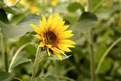 小さめの可愛い向日葵