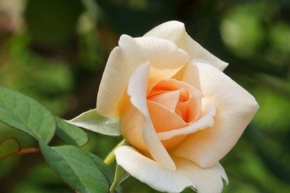 ザ・フライヤー  淡いオレンジ色が美しい