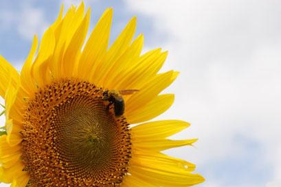 小さな花の集まり  クマバチとひまわり