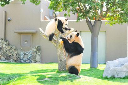 アドベンチャーワールド 動物たちと触れあえるテーマパーク。現在8頭のジャイアントパンダが暮らしています。イルカショーやサファリパークは、間近で動物たちを見られることで大人気。