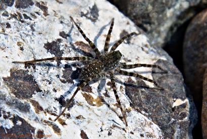 Pardosa - Mahdah (Émirat de Sharjah)