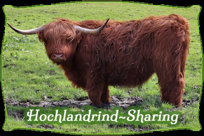 Hochlandrind-Sharing