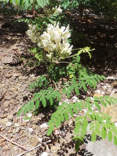 Moringa Blätter und Blüten
