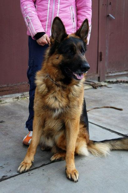 немецкая овчарка купить щенка донецк питомник фон нордэн штэрн громова