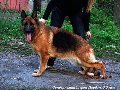 немецкая овчарка зондеркоманда фон нордэн купить щенка немецкой овчарки донецк