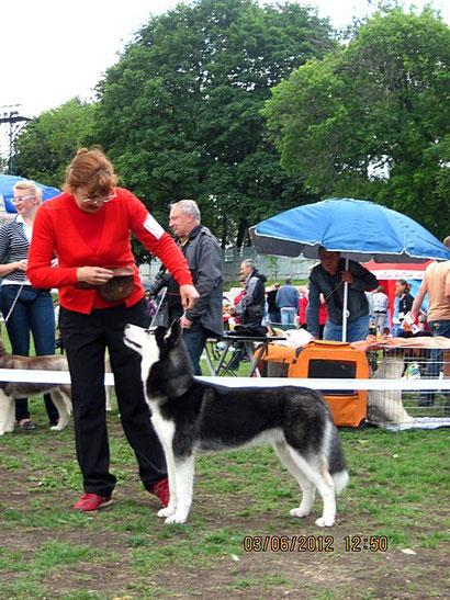 Сибирский хаски Ассай - победитель класса на международной выставке.