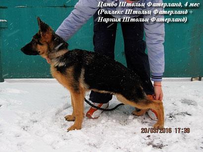 щенки немецкой овчарки купить щенка в донецке питомник