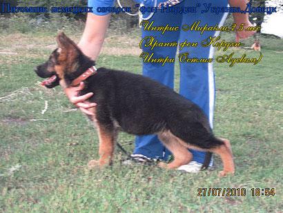 купить щенка немецкой овчарки в донецке дрессировка хендлинг