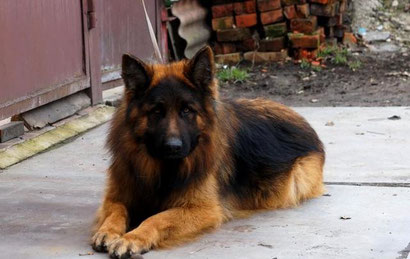купить щенка немецкой овчарки длинношерстного донецк питомник фон нордэн штэрн