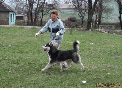 Сибирский хаски Вольт