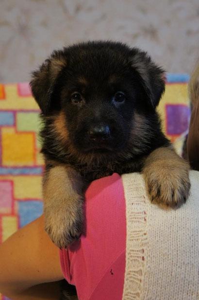 купить щенка немецкой овчарки донецк питомник