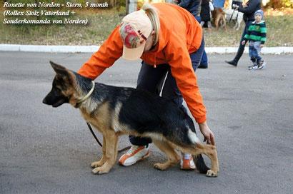 выставка племсмотр в макеевке щенки немецкой овчарки в донецке питомник von norden stern дрессировка хэндлинг