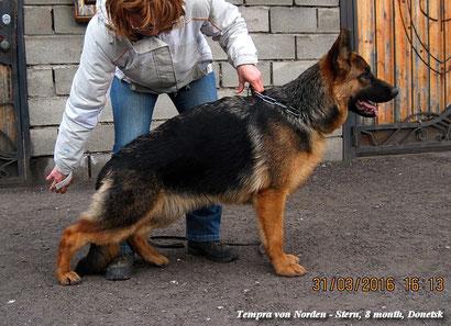 купить щенка немецкой овчарки донецк питомник фон нордэн штэрн громова темпра фон нордэн штэрн
