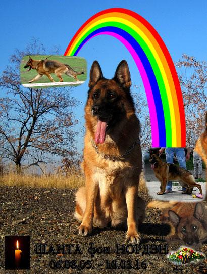 10 марта 2016 г ушла из жизни замечательная собака, незаурядная производительница моего питомника и кусочек моей души - Шанта фон Нордэн... Зеленой травки тебе, Шаня, там, за радугой...