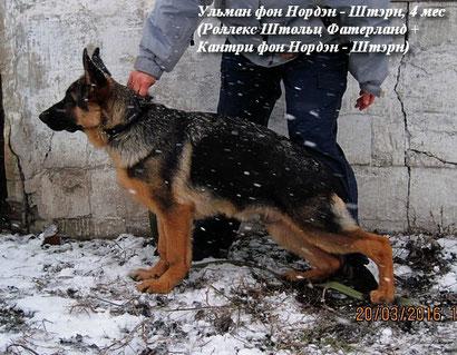 немецкая овчарка Ульман фон Нордэн Штэрн Донецк щенки продажа купить щенка в донецке